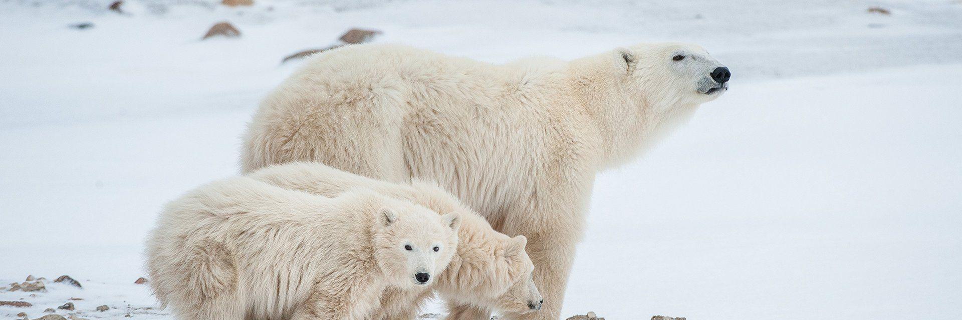 Ours polaires et aurores boréales de Churchill