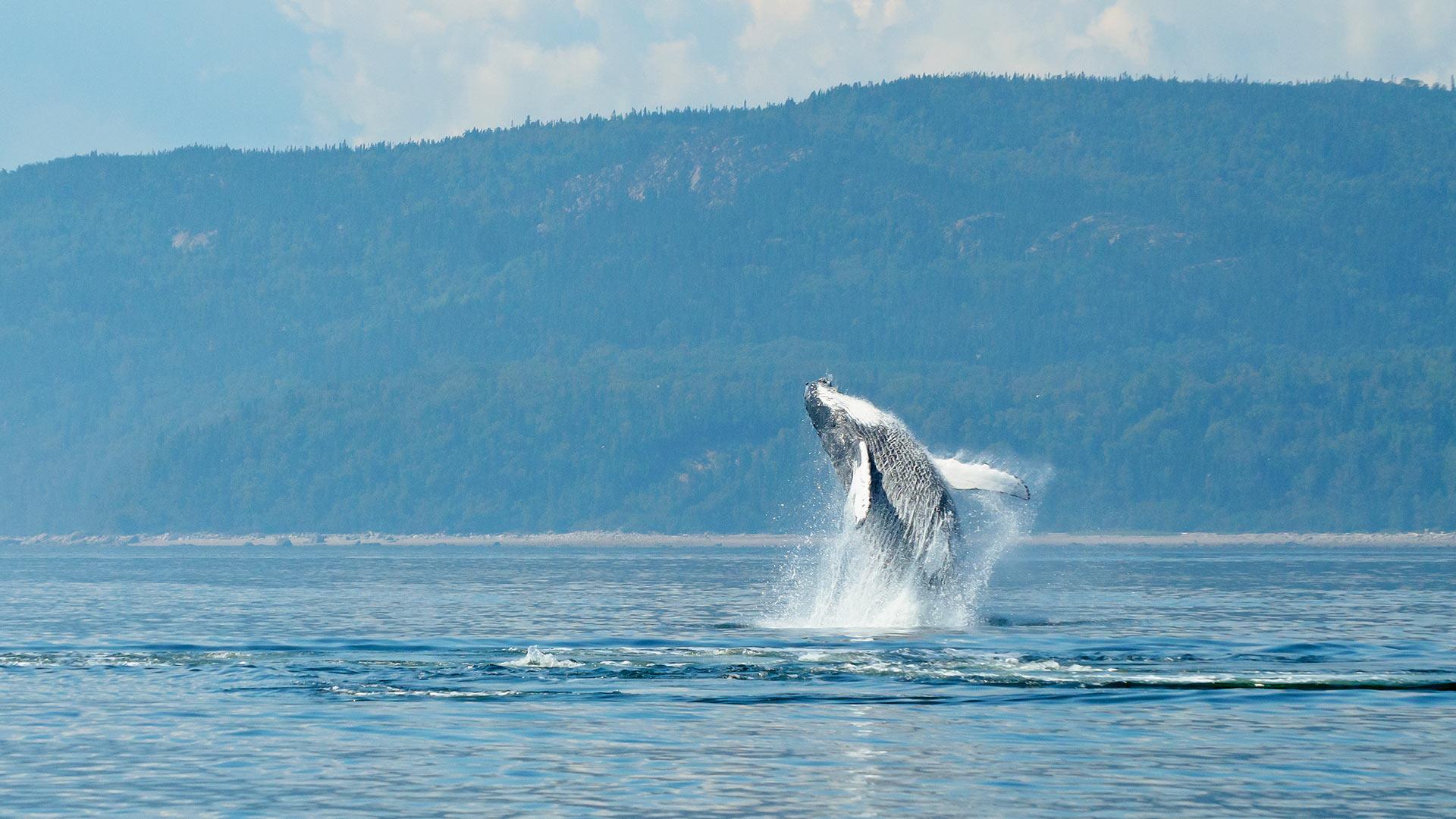 Charlevoix, Tadoussac et les baleines