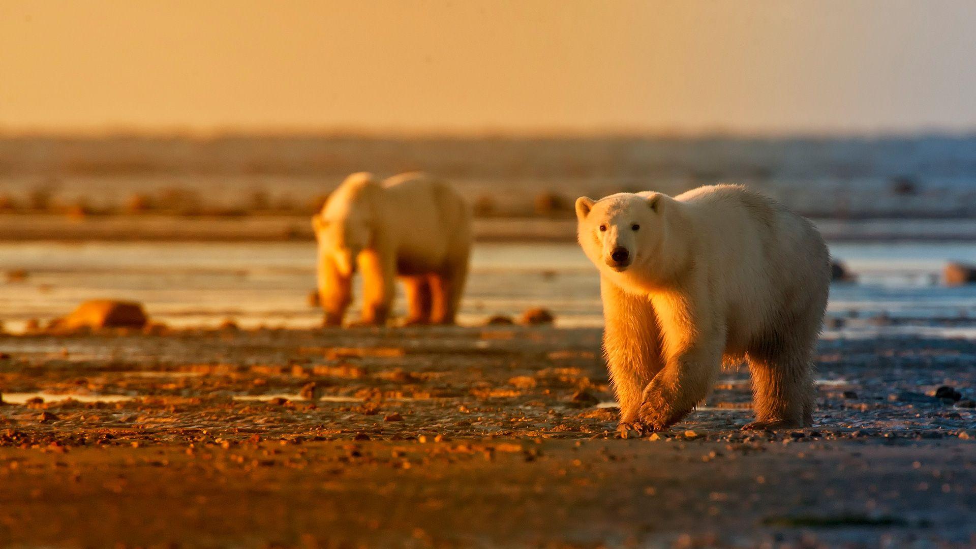 Ours polaires et bélugas de Churchill
